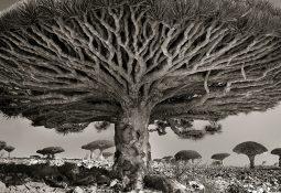 Dünyanın en yaşlı 5 ağacı
