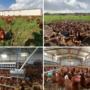 Gezen İnsan Gibi Gezen Tavuk Sağlıklıdır